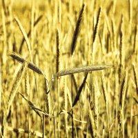 Скоро будет урожай :: Дмитрий Конев