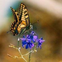 бабочка :: олег
