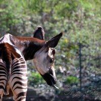 Лесной жираф :: Сергей Стреляный