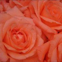 Ах, эти розы!.. :: Нина Корешкова
