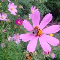 Космея цветет :: Serg