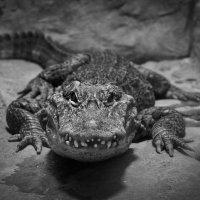 Крокодил :: Elena Ignatova