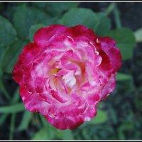 Мои цветы :: Анатолий Мартынюк