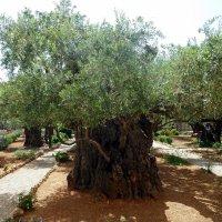 Оливковое дерево. :: Чария Зоя