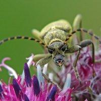 Жук на цветке лопуха :: Александр Смирнов