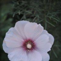 Летний цветок :: Ирина Жигулина