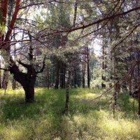 Гуляет солнце в дремлющем лесу :: Татьяна Ломтева