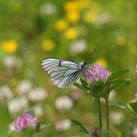 прекрасная летняя бабочка :: Анастасия Долгополова
