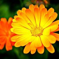 цветы :: Олег Белан