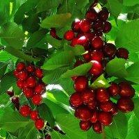 Вишня красная, вишня спелая :: Galina Dzubina