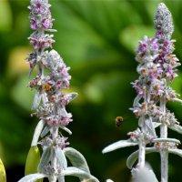 Пчелы на работе :: cfysx