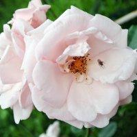 Розовые розы. :: Лариса Вишневская