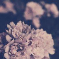 Розы :: Aleksandra Lutko