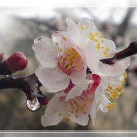 Дождь, весна, миндаль... :: Эля Юрасова