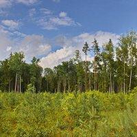 Июльский  лес. :: Валера39 Василевский.