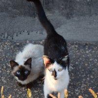 коты :: Анастасия Бирюкова(Янкова)