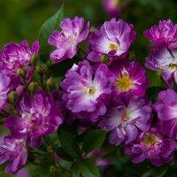 И такими бывают розы. :: Андрей Нибылица