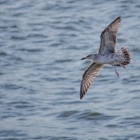 чайка :: Belyj_Volk