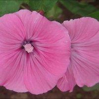 Розовая лаватера - щёчка к щёчке :: Нина Корешкова