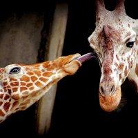 Жирафьи нежности :: Alexander Andronik