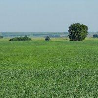 Пшеница :: Виктор Четошников