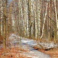 Весна в лесу :: Ольга (Кошкотень) Медведева
