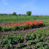 А у вас сажают цветы на огороде, маки, например?! :: Валентина Данилова