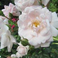 Розы :: Валюша Черкасова