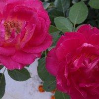 мои розы :: nat купр