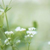 маленькие цветочки :: AllaSaa