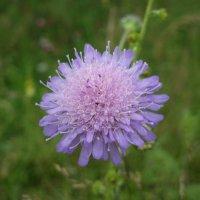 Цветок на склоне холма :: Николай Филоненко