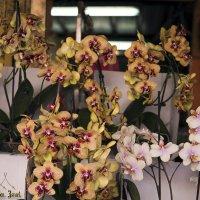 Орхидеи :: Aleks Ben Israel
