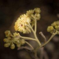 Желтый цветочек полевой... :: Роман *******