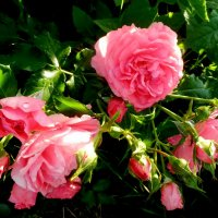 розы :: неля  тулузова