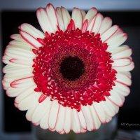 Цветочные ареолы :: Ева Олерских