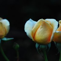 Розы во мраке! :: Евгений Морозов