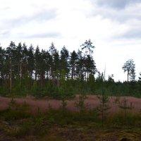 Сосновый лес. :: zoja