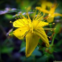 Цветок зверобоя :: Андрей Заломленков