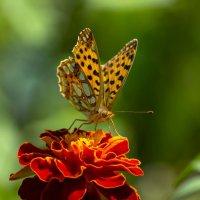 Бабочка :: Геннадий Катышев