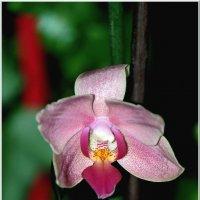 Орхидея-фаленопсис. :: Сергей Гончаров