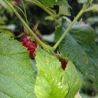 Сладкий урожай :: Galina194701