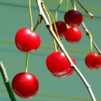 поспели вишни...листья облетели :: Александр Прокудин