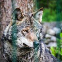 Волк :: Михаил Кронор