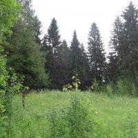 Местный лес :: Андрей Бабушкин