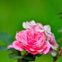 Роза :: Дмитрий Косачев