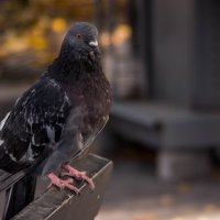 обычный Питерский голубь :: Ирина Гракова