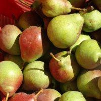 Первый сбор груш... :: Тамара (st.tamara)