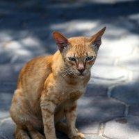 Суровый тайский котэ. Смотрите прямо в глаза. :: DimCo ©