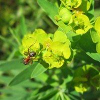 Рыжий лесной муравей. :: Лена Минакова