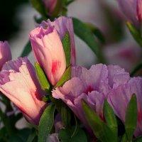 Раннее утро, цветы Годеции еще спят... :: Галина Мухина